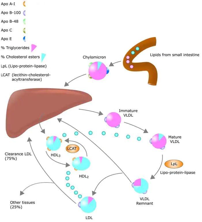 Metabolismo Del Colesterolo