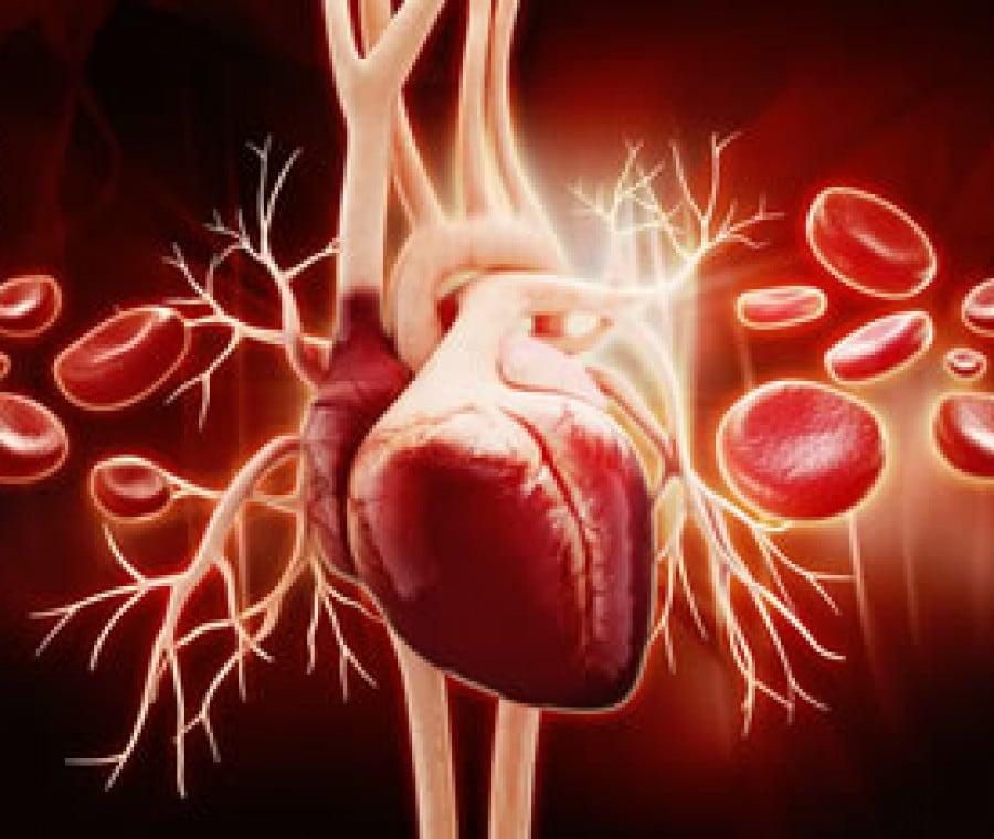 Cuore: Ciclo Cardiaco, Aorta e Curiosità sul Muscolo Cardiaco