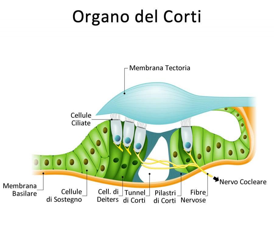 Organo del Corti: Cos'è, Struttura e Funzione
