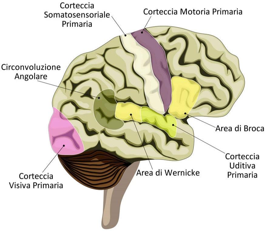 Area di Broca: Cos'è e Dove Si Trova? Funzioni e Patologie