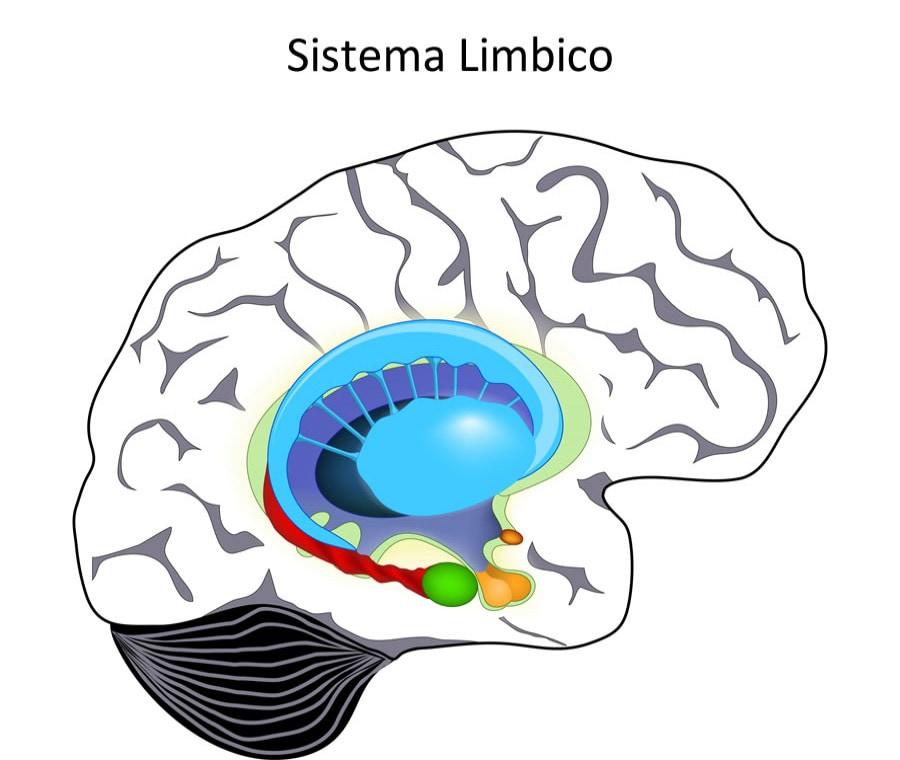 Sistema Limbico: Cos'è? Anatomia e Funzioni