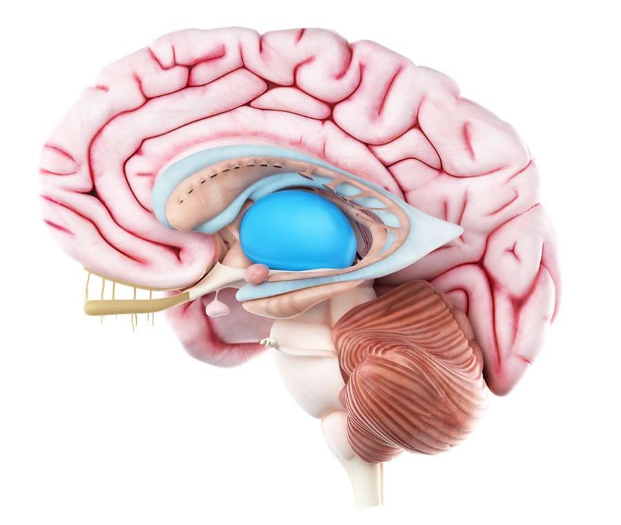 Diencefalo: Cos'è? Anatomia e Funzioni