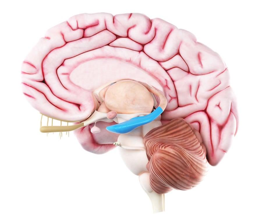 Ippocampo: Cos'è? Anatomia e Funzioni