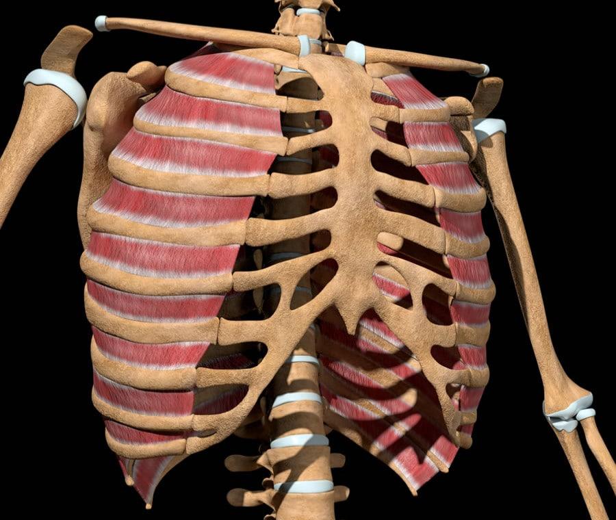 Muscoli Intercostali: Cosa Sono e A Cosa Servono?