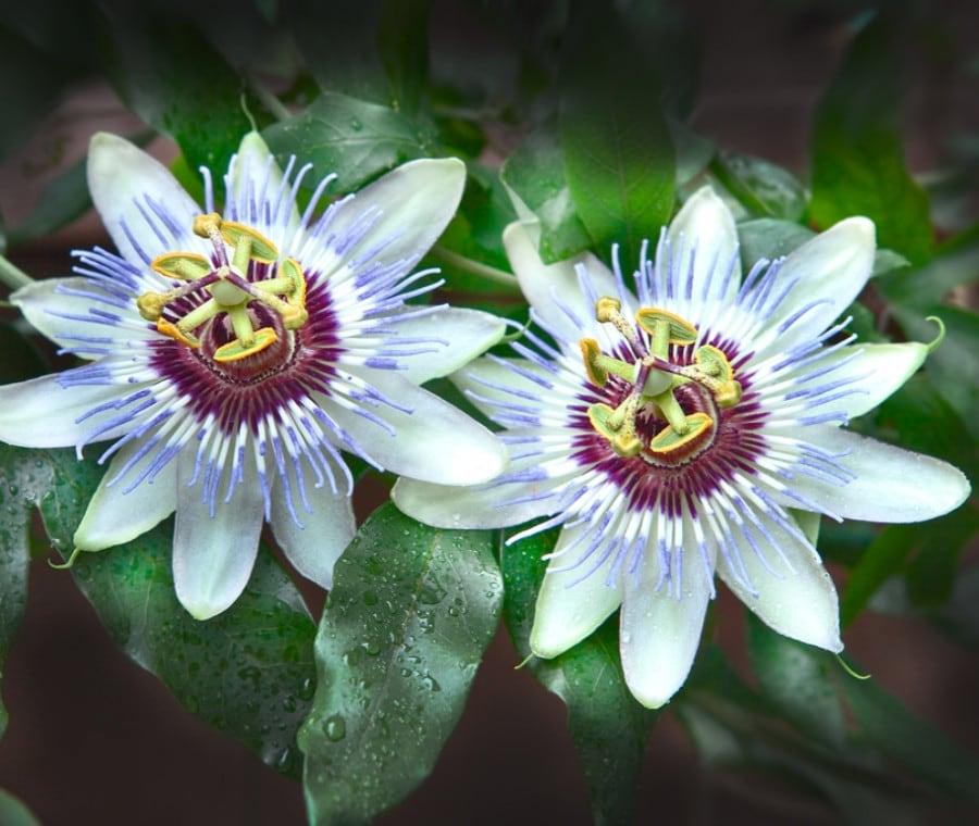 Passiflora: Cos'è e Proprietà