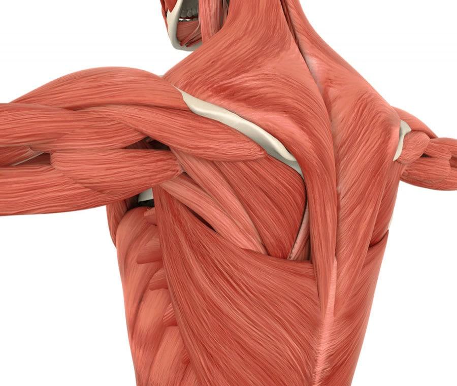 Muscoli della Schiena: Quali sono? Anatomia e Funzione