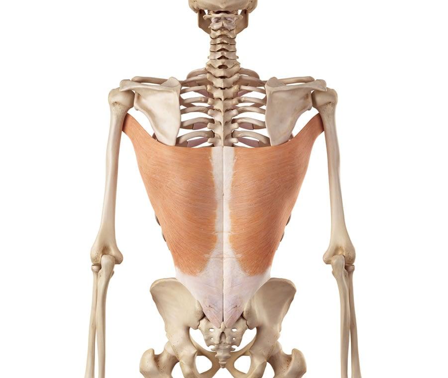 Muscolo Grande Dorsale Muscolo Gran Dorsale