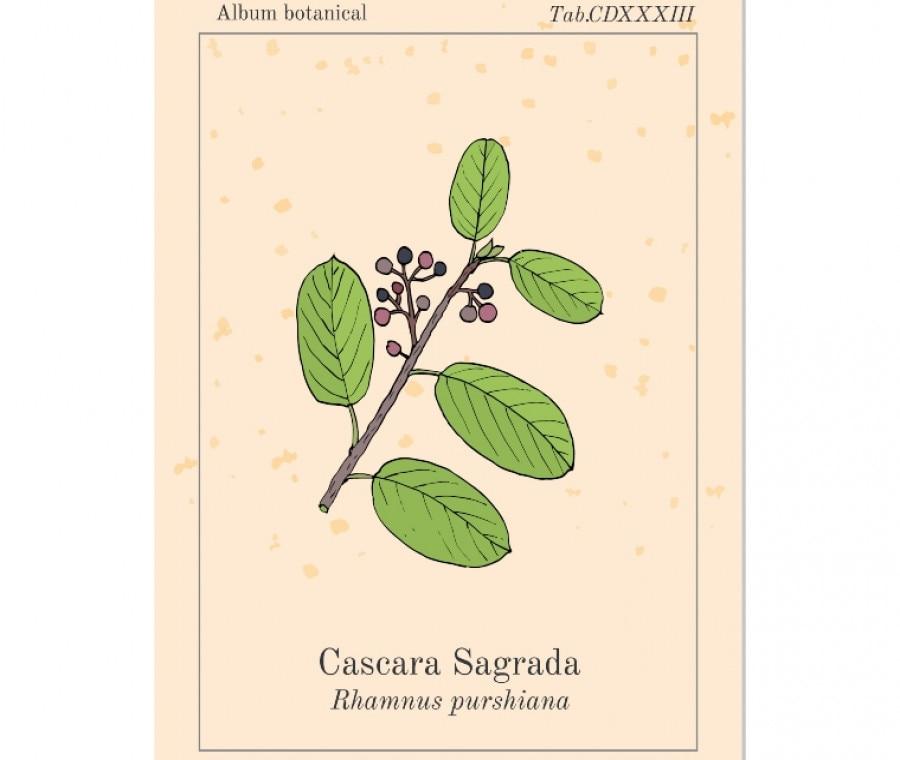 Cascara - Cascara Sagrada: Cos'è, Usi e Proprietà