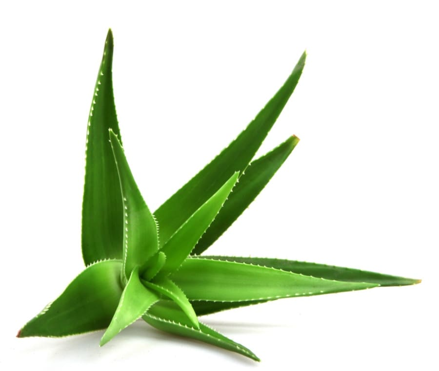 Aloe: Caratteristiche generali e Usi