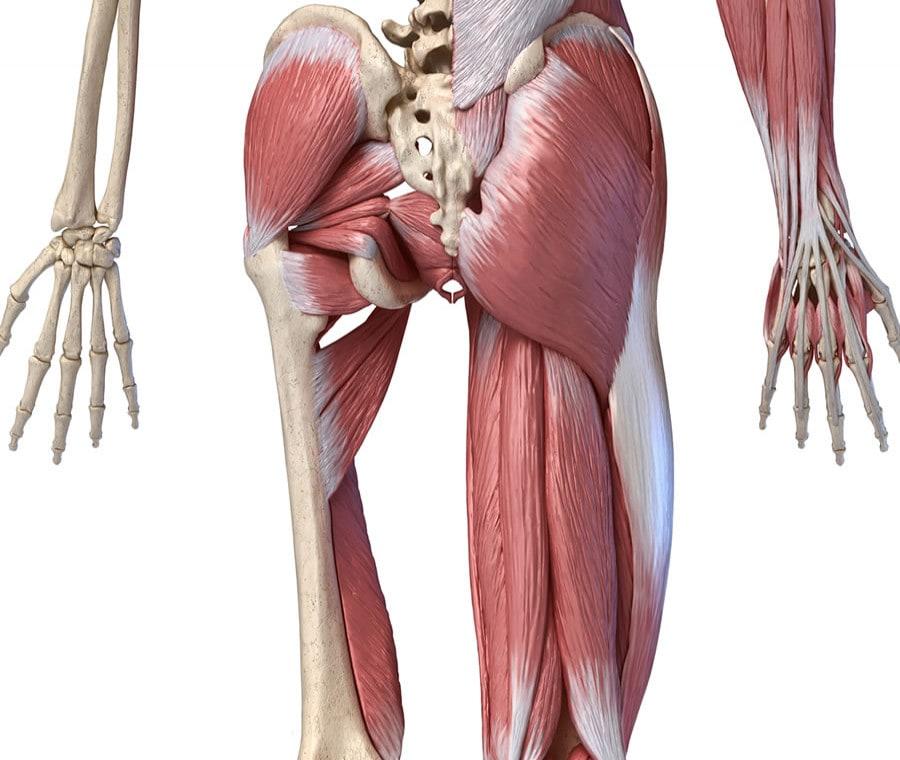 Muscoli dell'Anca: Quali sono? Anatomia, Funzione e Infortuni