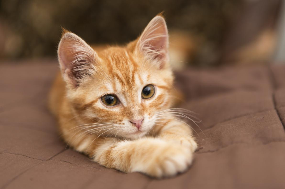 FIV e AIDS del gatto