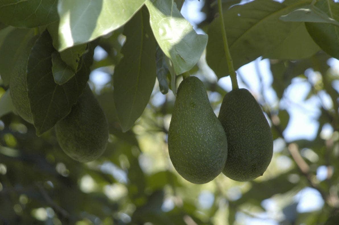 Storia dell'Avocado