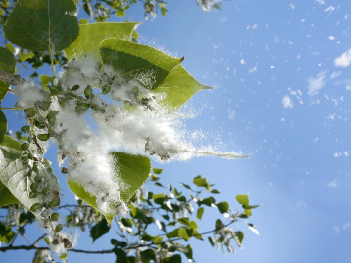 Allergia e pollini dispersi nell'aria