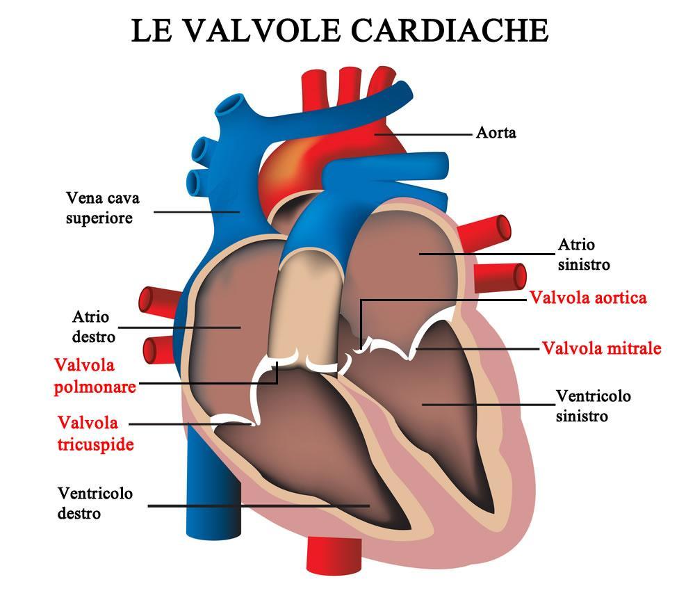 Anatomia del cuore: le valvole e cavità cardiache