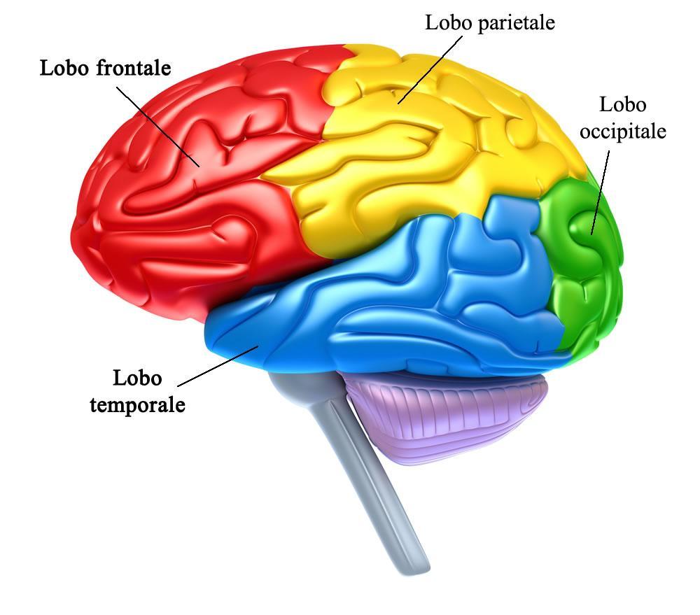 Lobi del cervello propriamente detto