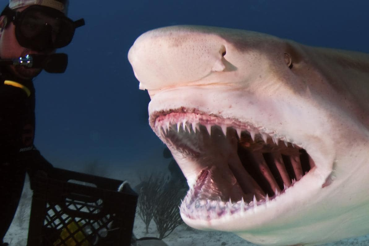 Lo squalo è un animale omeodonte e polifiodonte