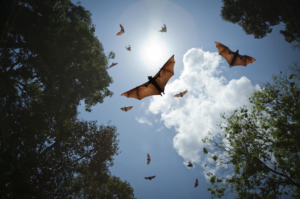 Pipistrelli della frutta nella foresta