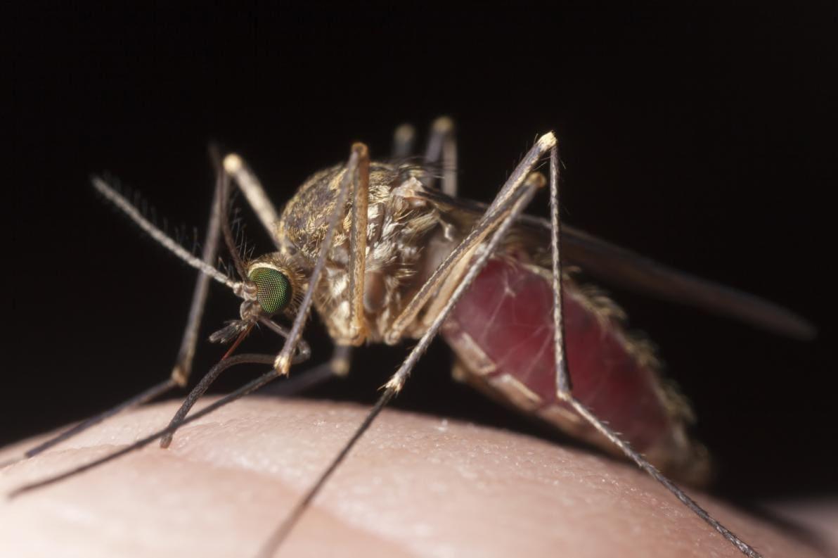 Zanzara vettore della febbre gialla