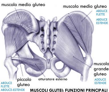 anatomia glutei