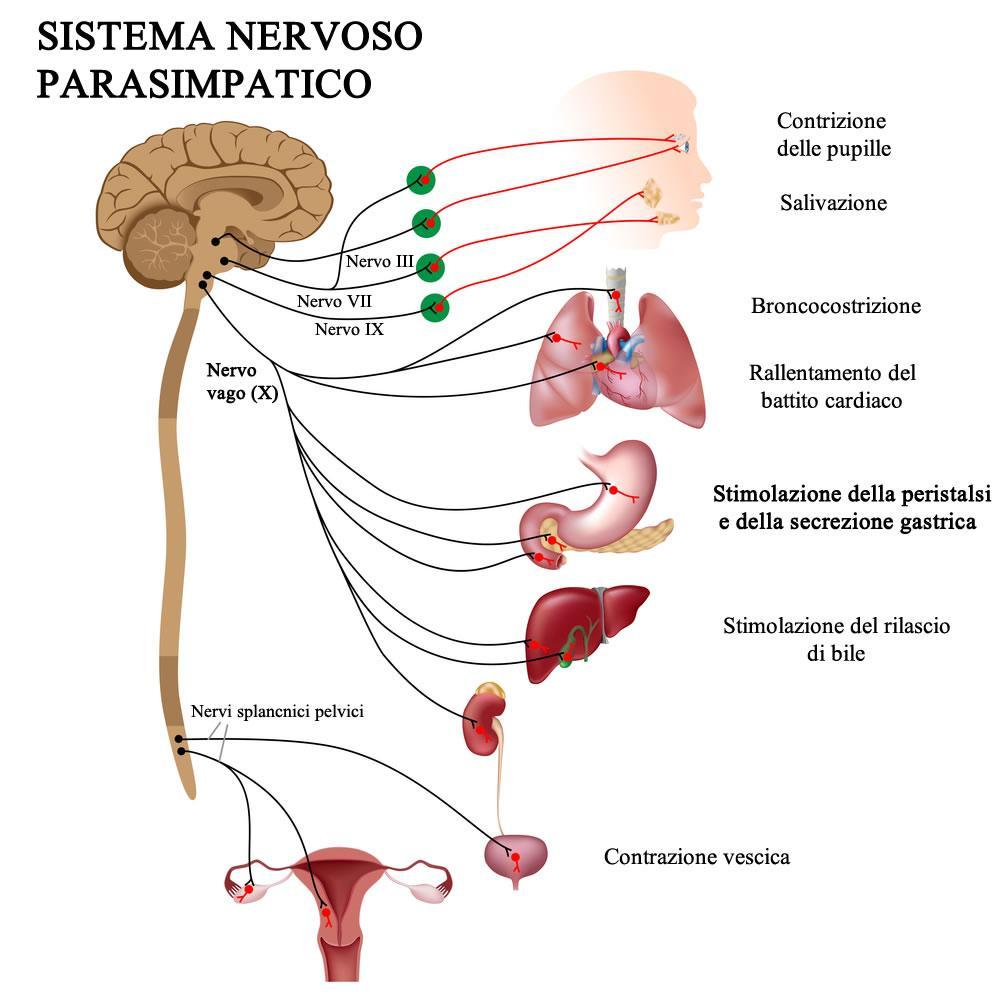 Funzioni principali nervo vago