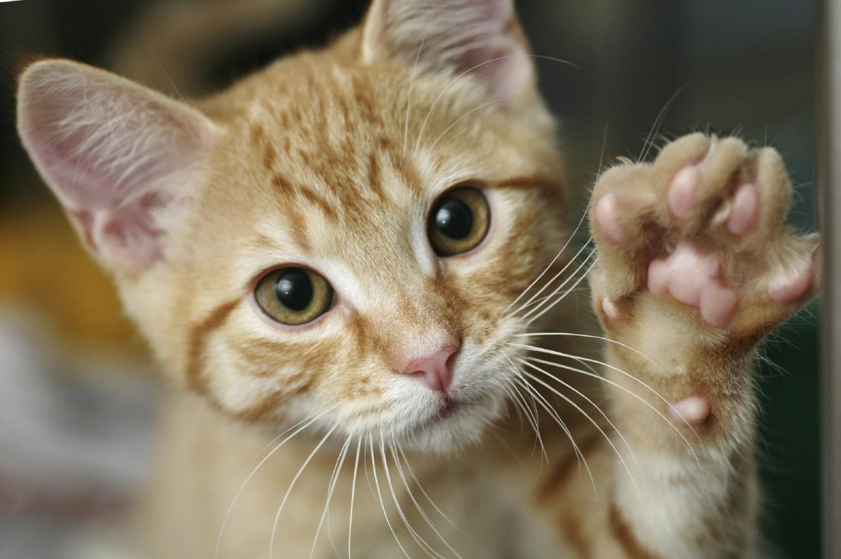 Malattia da graffio di gatto: come si contrae