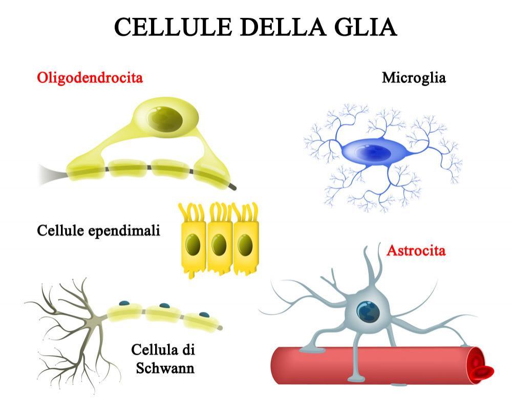Cellule della glia