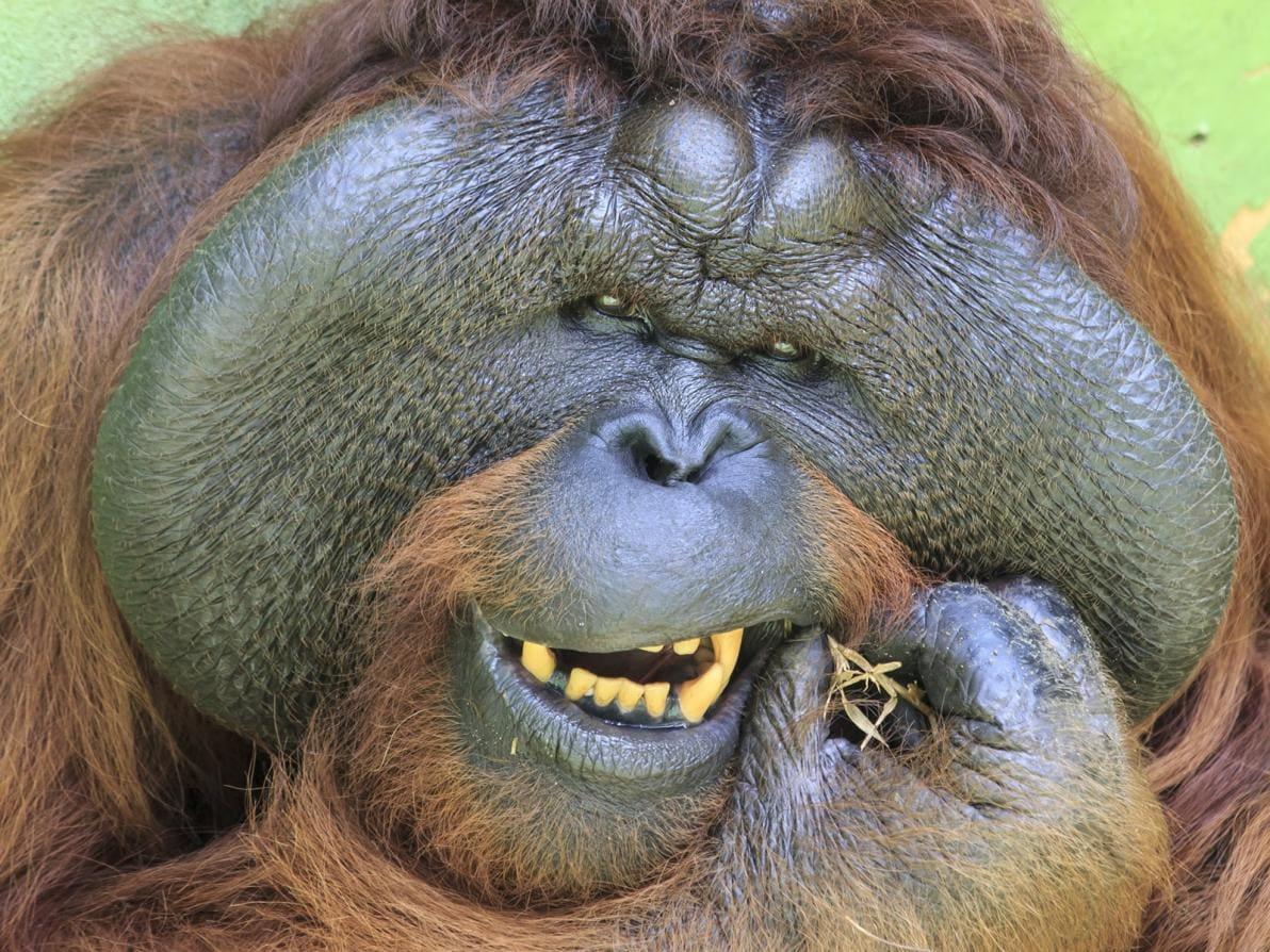 Orango alle prese con la pulizia dentale
