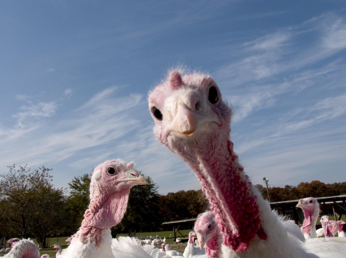 Quali sintomi provoca l'influenza aviaria negli animali?
