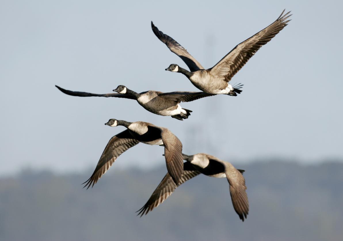 Influenza aviaria: trasmissione volatili-uomo