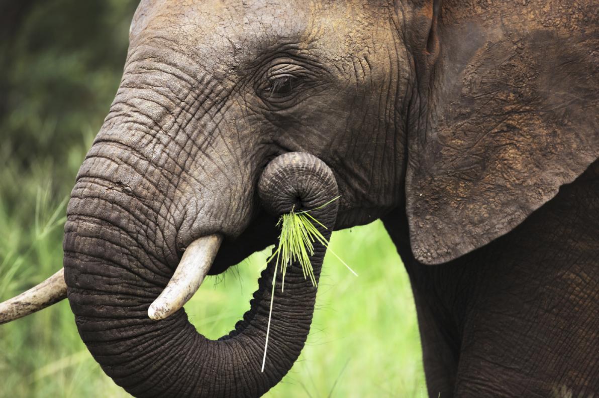 Lacrime dell'elefante
