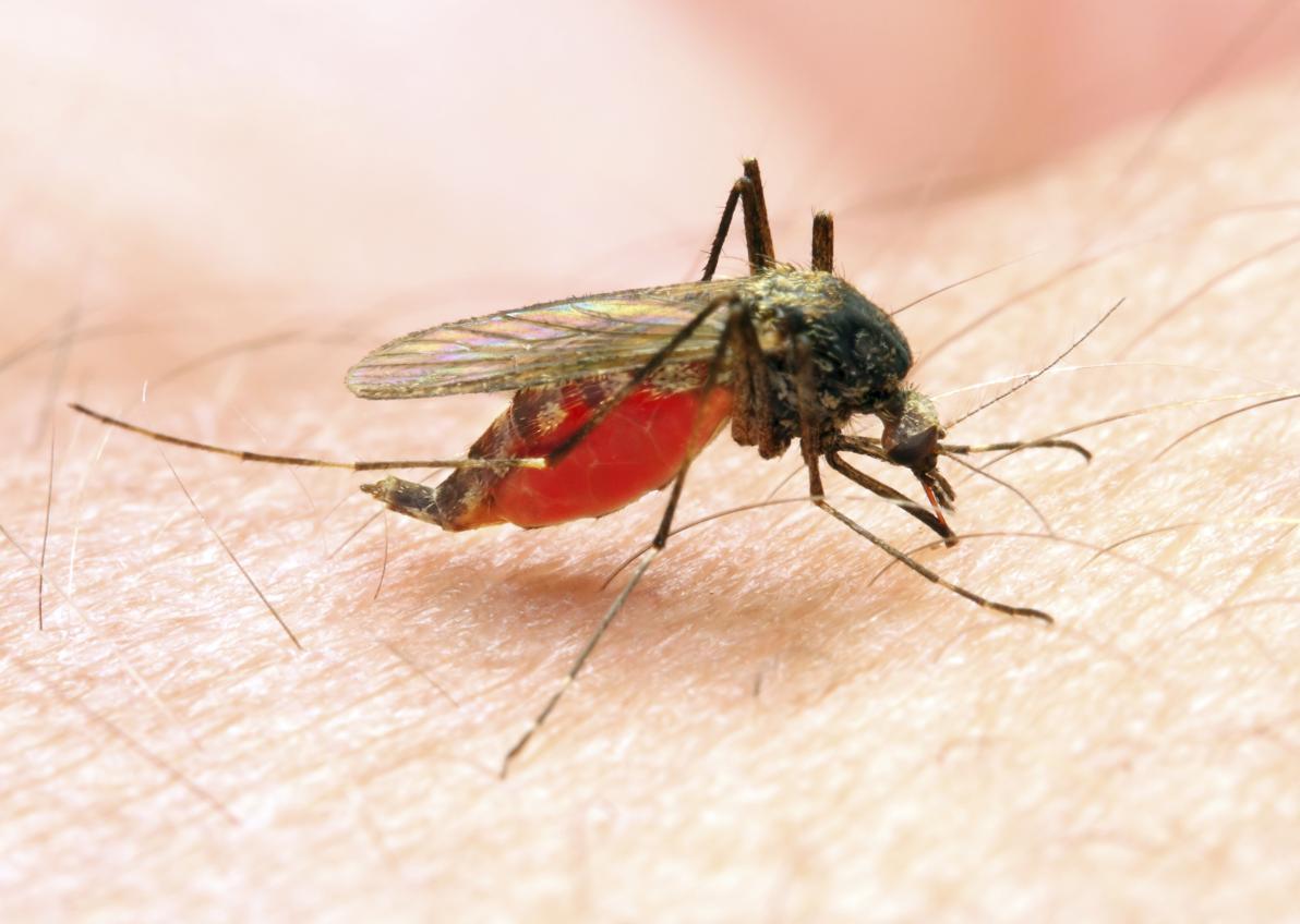 Zanzara anofele