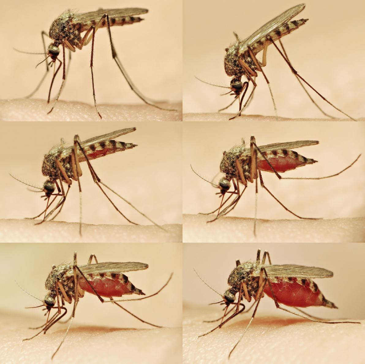 Zanzara durante il pasto ematico