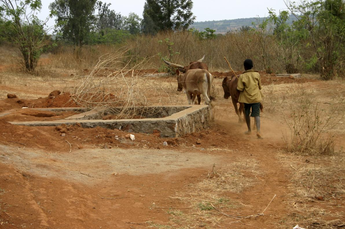 Tripanosomiasi africana nel bestiame