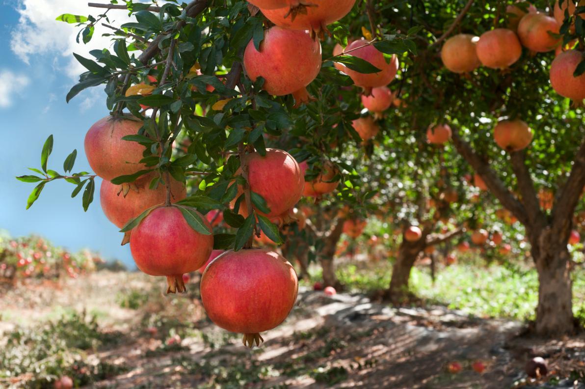 Melograno: Coltivazione, Varietà e Cultivar