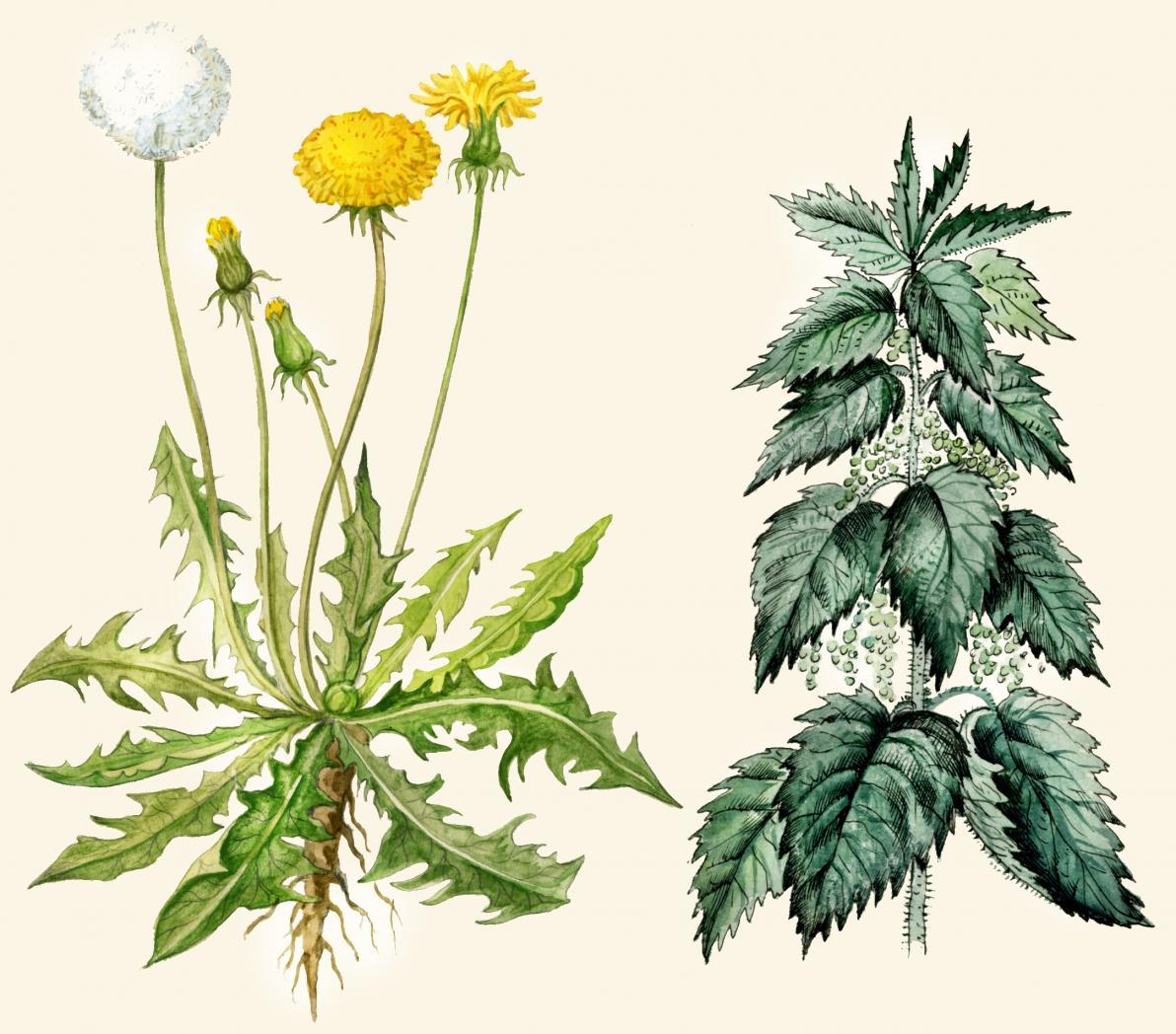 Ortica: Botanica e Tassonomia