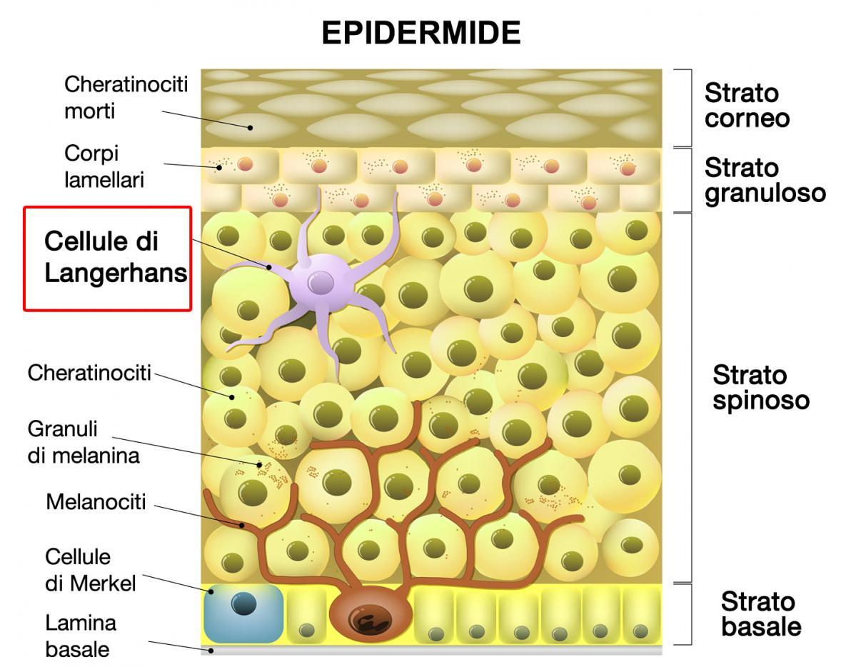 Cellule di Langerhans nell'epidermide