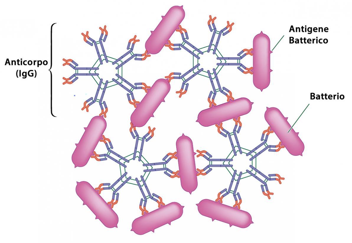Legame antigene - Anticorpo - Immunità acquisita