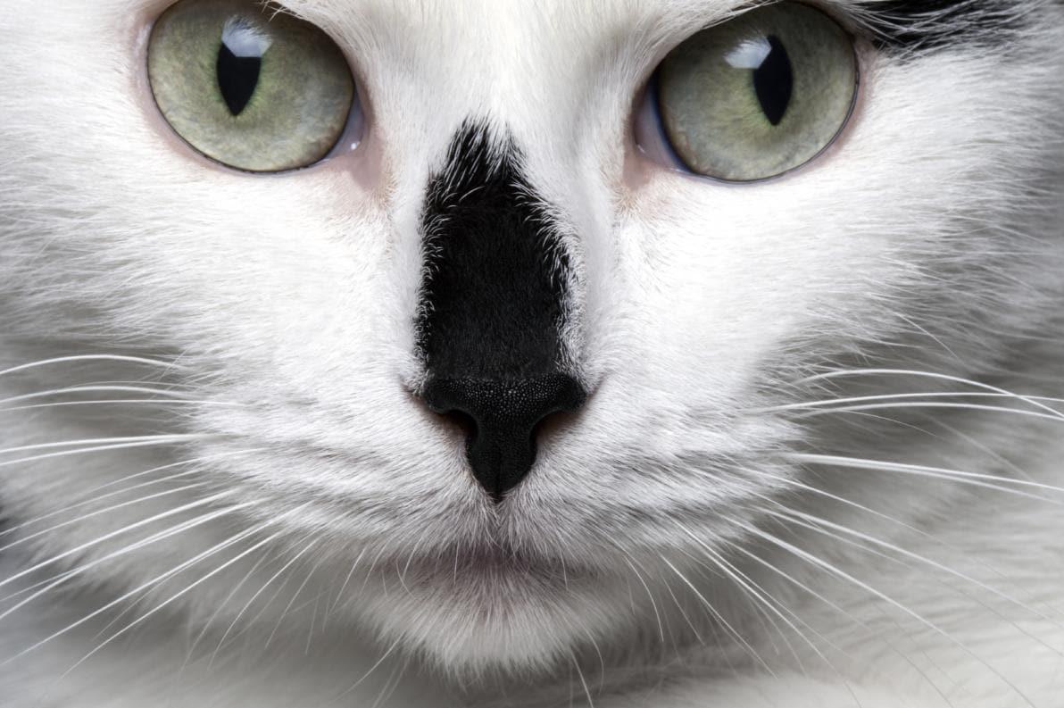 Strabismo nei gatti
