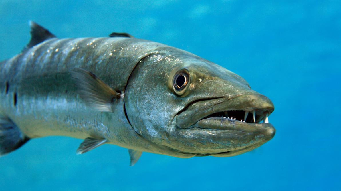 Il baracuda è uno dei pesci più ricchi di ciguatossina