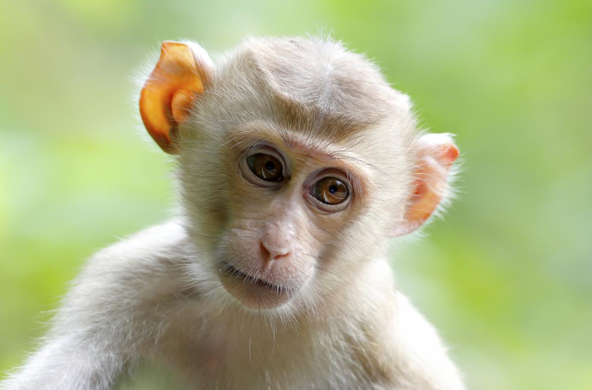 """Macaca fascicularis da cui deriva la definizione """"vaiolo delle scimmie"""""""