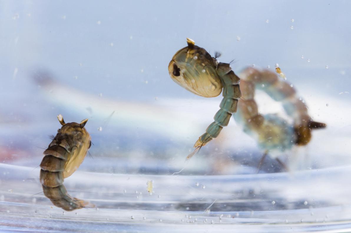 Zanzare allo stadio larvale