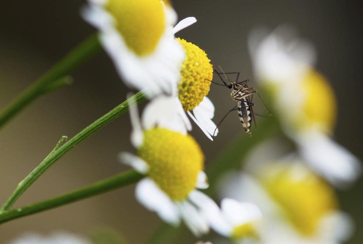 Zanzare: motivi per cui esistono