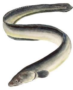 Anguille di comedones punti neri