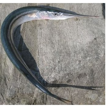 Aguglia pesce azzurro