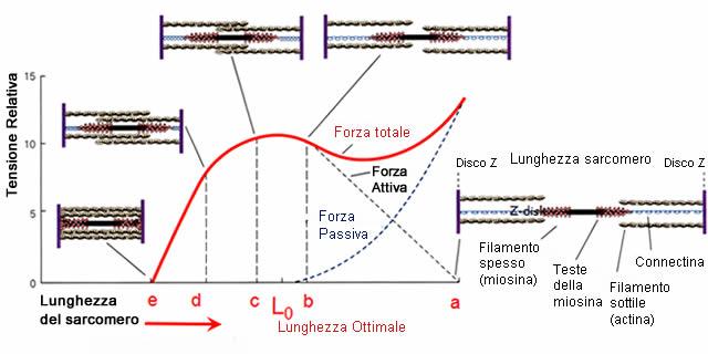 Relazione Forza-Lunghezza