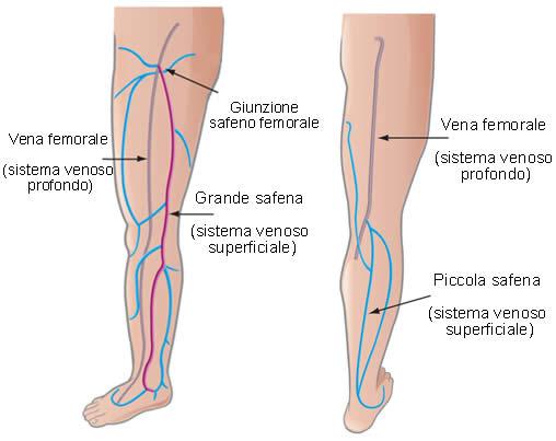 Vene anatomia