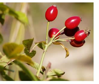 Foglie e frutti di rosa canina