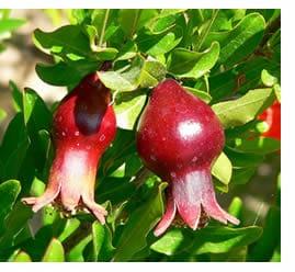 Melograno, pianta di melograno