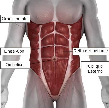 Muscoli Addome - Ombelico