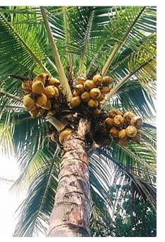 Cocco palma da cocco e propriet delle noci di cocco for Pianta di cocco